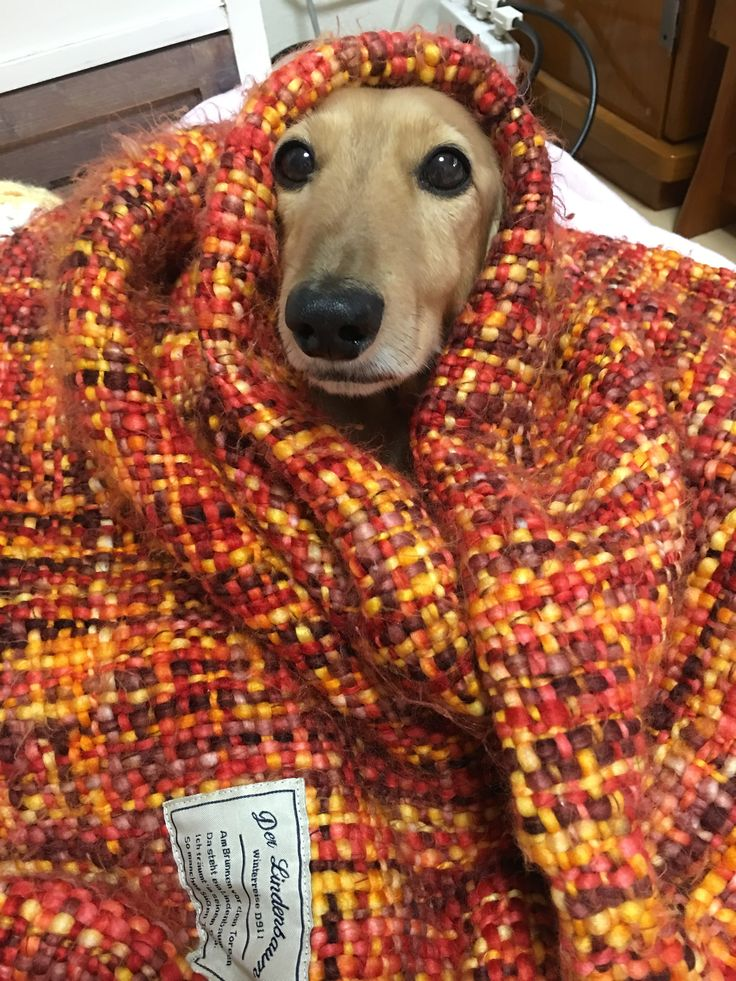 The dog that it is hard to be cold