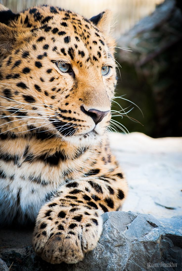Blue Eyed Amur Leopard