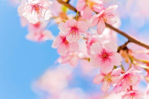 Paling Populer 28 Gambar Animasi Bunga Sakura Yang Kadang Adalah Gambar Sindiran Untuk Tokoh Tokoh Populer Ya Clear Blue Sky Cherry Blossom Stock Images Free