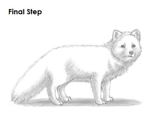 how to draw an arctic fox  fox drawing arctic fox