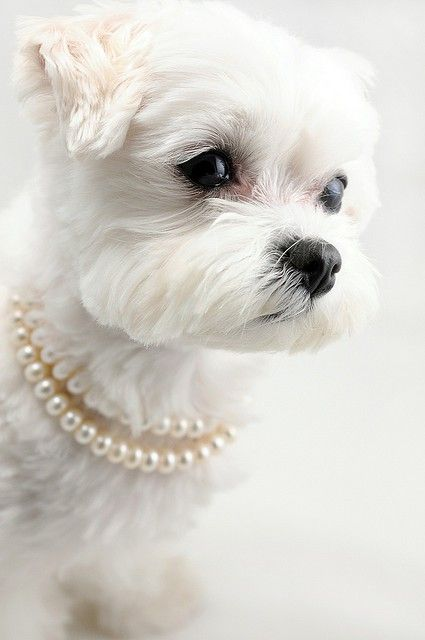 puppies in pearls, so cute!