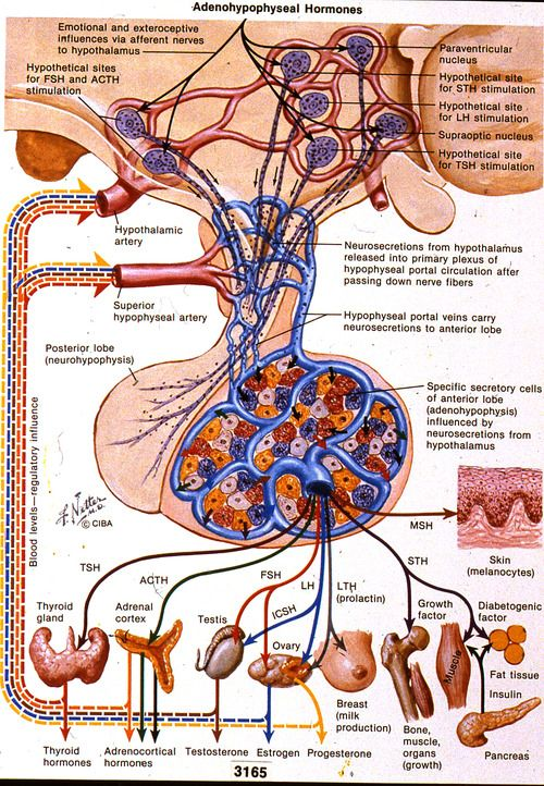 Netter Pituitary Hormone Illustration