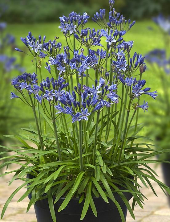 Nieuwe potplant, Agapanthus L'Amour d'été, prachtig als patio plant voor in de tuin.