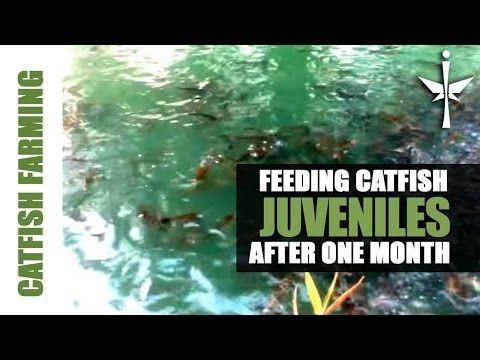 Juvenile Catfish Feeding after one month - YouTube
