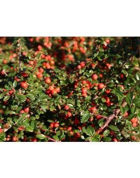 Cotoneaster dammmeri 'Coral Beauty' – Magas törzsű madárbirs