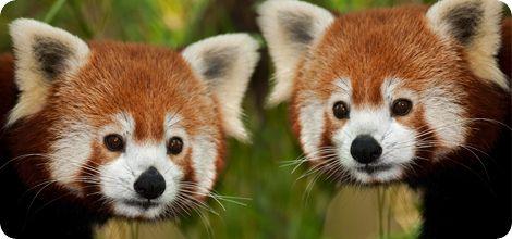 Le panda roux (vu à la télé ce midi)