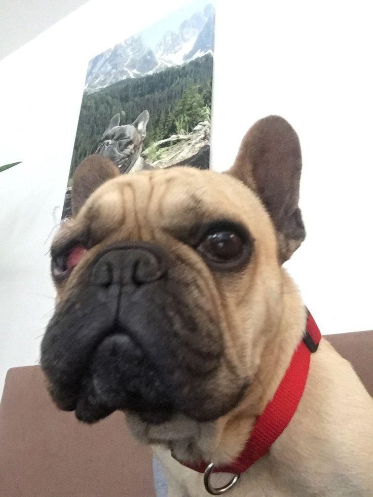 Rocky Französische Bulldogge | Pawshake