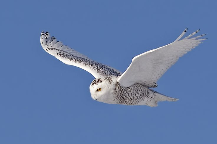 Snowy Owl (Bubo scandiacus) in flight - Picture 5 in Bubo: scandiacus - Location: Quebec, Canada. Photo by Rachel Bilodeau.