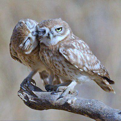 Owl kissing Owl