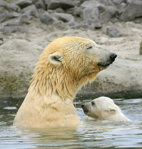 polar bear cubs | Vicks the Polar Bear Cub Makes Public Debut