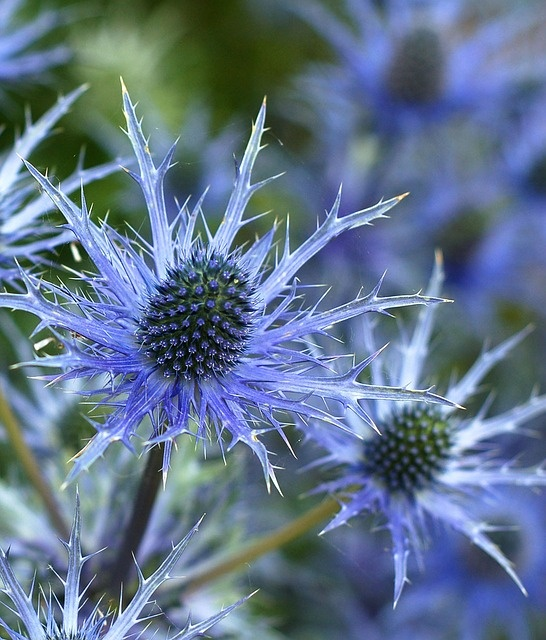 Eryngium 'Sapphire Blue' - Sea Holly. My garden tips: thrives in low fertility soil and dry, sunny conditions. For best flowering and blue color, give all day sun and no fertilizer! Great with ornamental grasses, particularly the blondes!