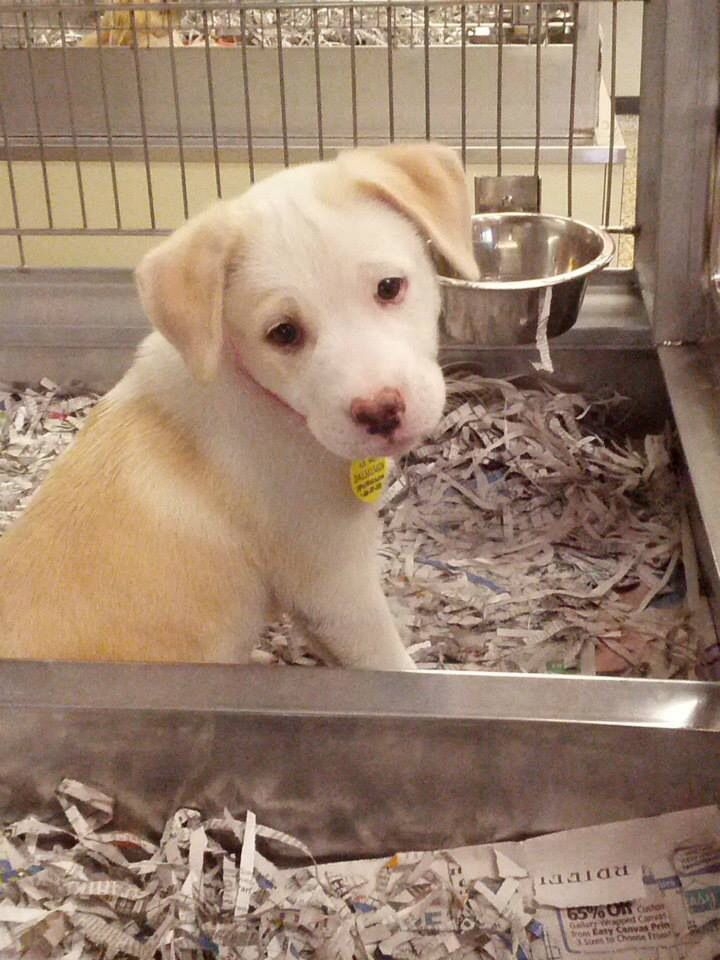 """Our lab pitbull mix puppy """"Maggie"""" #pitador #labrabull - rescued from a kill shelter!"""