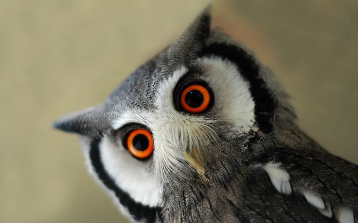 Surprised eagle owl: Northern White Faced, Animals, Owl Wallpaper, Baby Owls, Wallpapers, White Faced Owl, Birds, Photo, Eyes