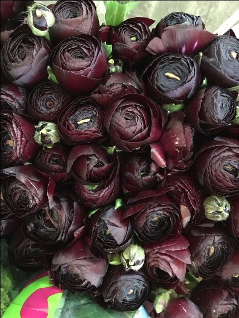 Ranunculus Clooney Nerone.Sold in bunches of 40 stems from the Flowermonger the wholesale floral home delivery service.