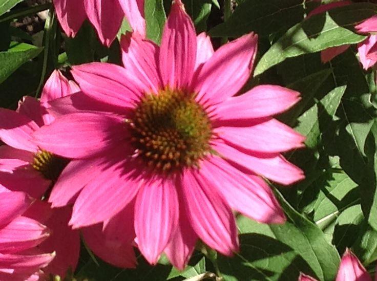 Pow wow wind berry echinacea
