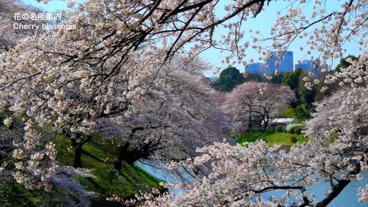 TOKYO JAPAN Cherry Blossoms in Tokyo 東京の千鳥ヶ淵の桜(sakura) 日本の桜 東京観光 花の名所案内