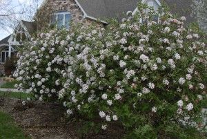 Viburnum mohawk is a favorite low maintenance shrub i for Low maintenance bushes for shade