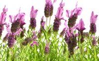 Verliefd op lavendel! Welke soort lavendel past het beste in jouw tuin of op je balkon of terras? En hoe onderhoud je de plant?