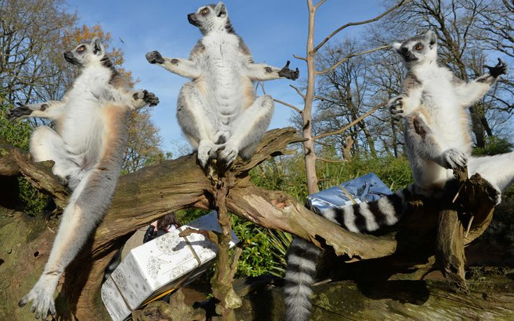 A group of lemurs prepare to open a Christmas package filled with food at the zoo in La Fleche, northwestern France
