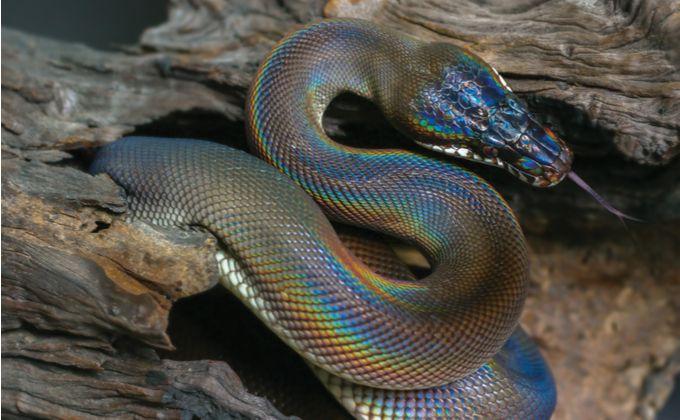 アルバーティスパイソンの特徴と飼育方法を紹介 性格の荒さやおすすめの飼育環境は Woriver ペットショップ ヘビ ニシキヘビ