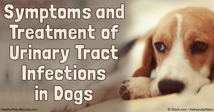 Natural Remedy Dog Urinary Tract Infection