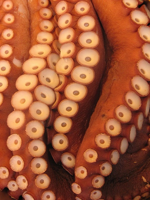octopus: my favorite sea animal! so intelligent.