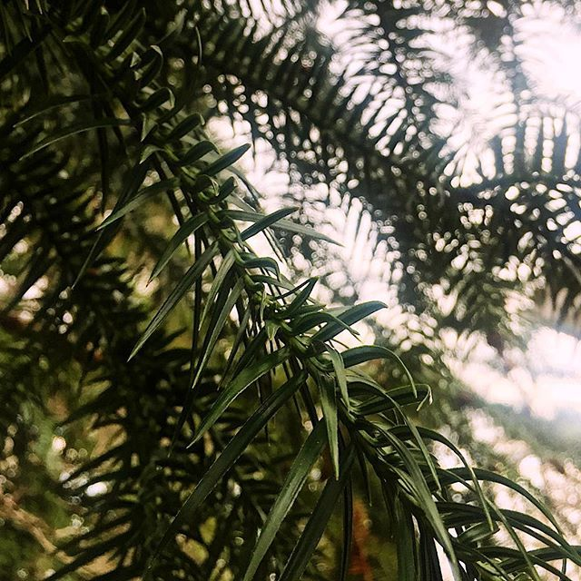 Douglas firs are evergreen trees. They are commonly used in the Christmas tree industry. Doterra grows our firs in New Zealand. 🏞These trees require lots of water. It is not a plant so if you are wanting one of these trees make sure you place it carefully and not near sewage because if it doesn't have water it will draw it from wherever and these roots will clog your pipes. These trees are beautiful but are also known to fall so I wouldn't have one too close to your house and forget about…