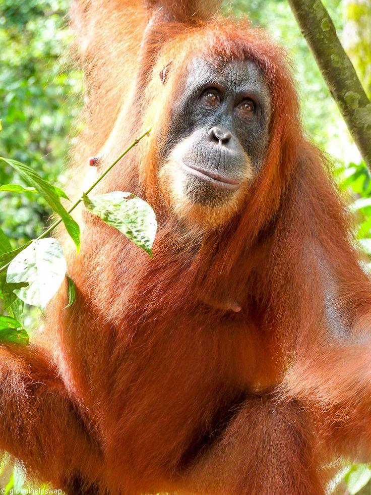 Orangutans in Gunung Leuser National Park, Sumatra, Indonesia