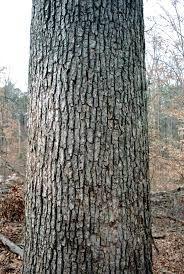 oak tree bark - Google Search