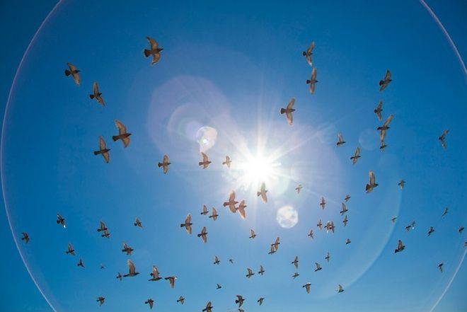 'Sound Maps' May Help Pigeons Navigate