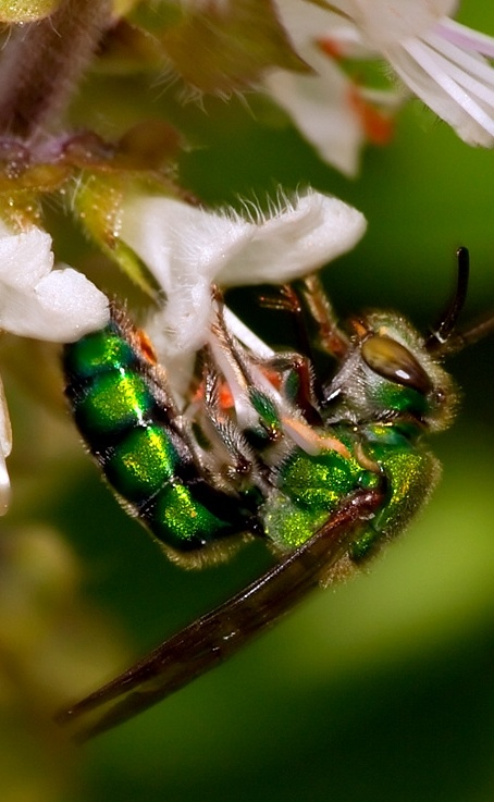 Green Wasp #insects