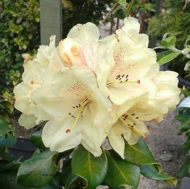 Rhododendron Wardii-Ryhmä 'Goldbuckett' Kelta-alppiruusu