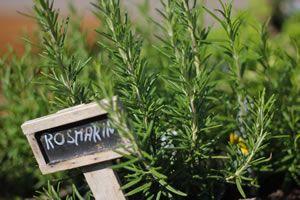 Rosmarin - Pflege, Schneiden & Überwintern