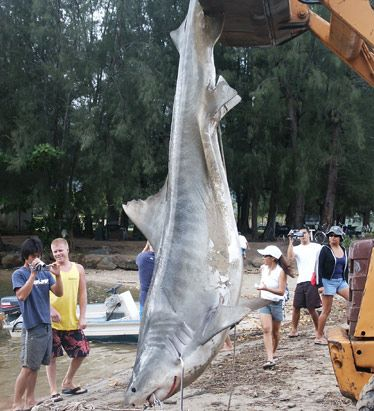 After watching Soul Surfer I found this photo. It is the shark believed to have been responsible for the attack.