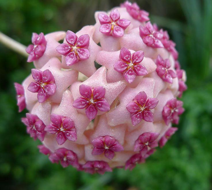 Hoya Aldrichii...geometry in plants...the marvelous creation of God