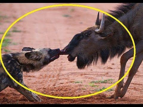 Wild Dogs Killing Wildebeest - Wild animal fight