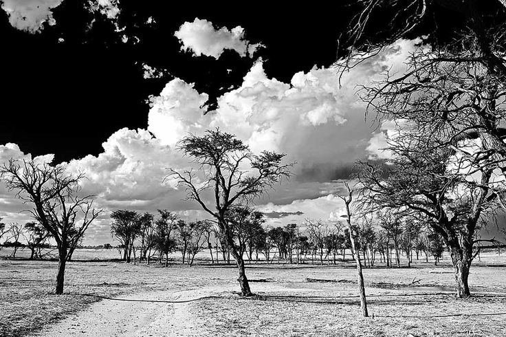 Kameeldoring (thorn) trees in the Nossob river bed, in the Kgalagadi Transfrontier Park, Kalahari Desert, South Africa: Photographed by Shane Saunders  (Cape Town, RSA)