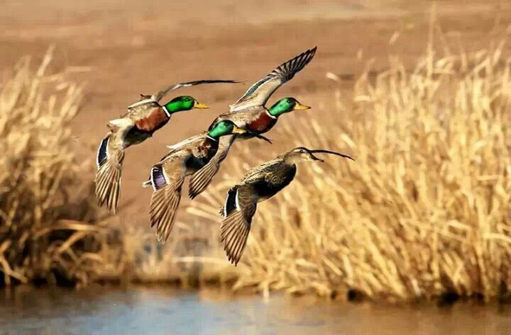 ...Iraqi marshes Birds BY Emad M Mola Waterfowl