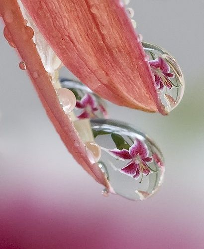 Lily Drops