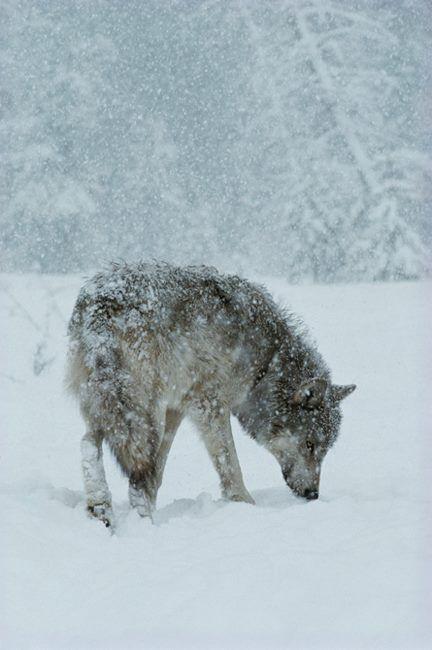 Eenzame wolf in de sneeuw