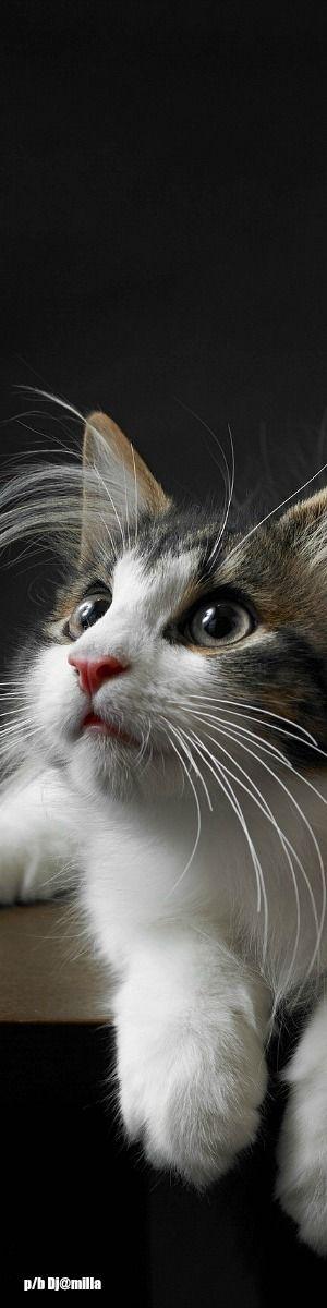 .Gorgeous Kitty Cat.