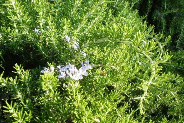 Plant photo of: Rosmarinus officinalis