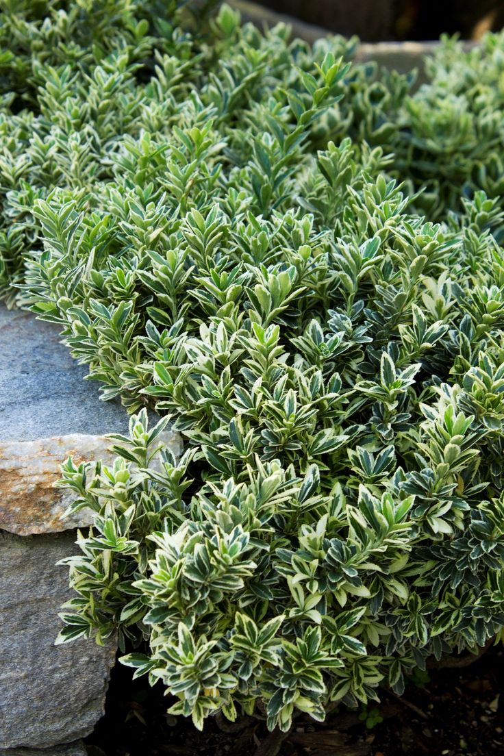 66 best euonymus shrubs images on pinterest plants for Landscape bush identification