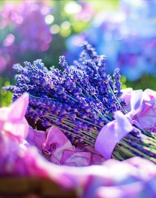Pin By Angi On Premier Pinning Lavender Lavender Oil