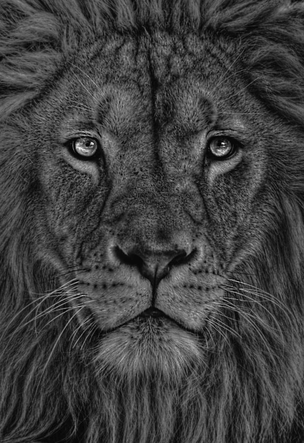 Amet EroLBeautiful Power, Big Cats, Beautiful Animals,  King Of Beasts, Art, Creatures, Lion Tattoo, Beautiful Lion, Lion Of Judah