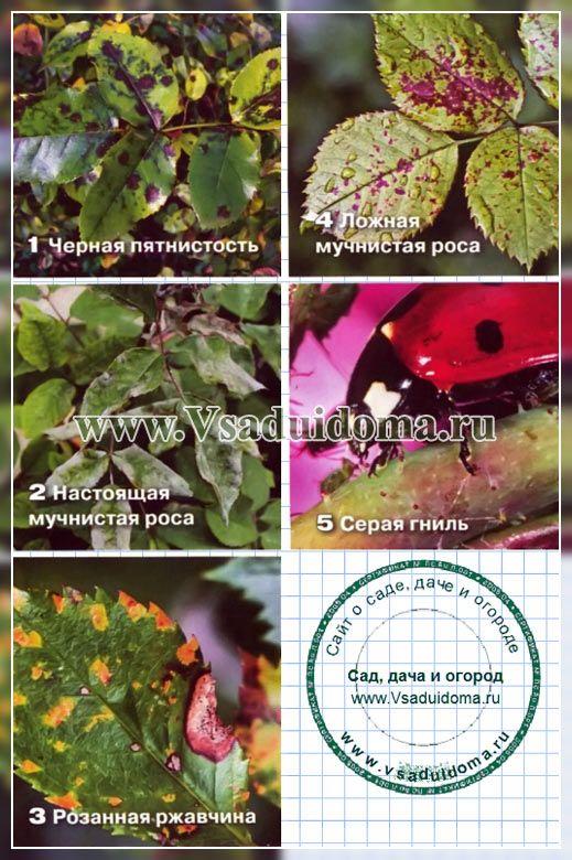 Разведение роз для начинающих – выращивание, уход, обрезка и посадка роз   Сайт о саде, даче и комнатных растениях.