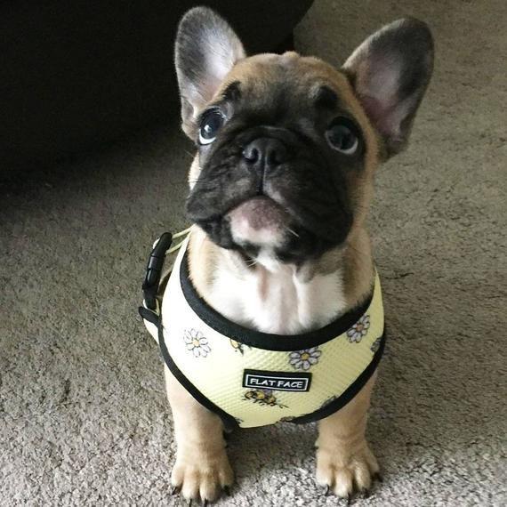 Flat Face Reversible Dog Harness French Bulldog Harness Boston