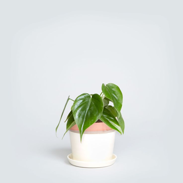 low light plants - loving this Philodendron in the Sonora pot