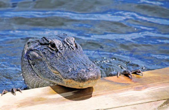 https://flic.kr/p/uhQqSn | cw-Alligator