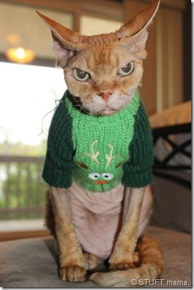 (The dreaded Christmas sweater) You've had your fun, now TAKE IT OFF! This cat gives Grumpy cat a run for his money...